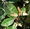 Elaeagnus x ebbingei 1.jpg