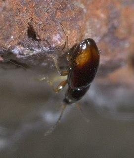 <i>Elaphropus</i> genus of insects