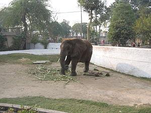 Lahore Zoo - Image: Elephant, Lahore Zoo, Pakistan