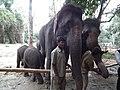 Elephant from Bannerghatta National Park 8673.JPG