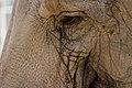 Elephas maximus - 06.jpg