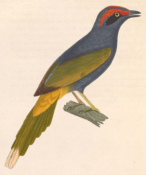 File:Enodes erythrophris 1838.jpg