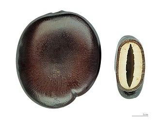 Seed dispersal - Entada phaseoloides – Hydrochory