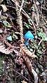 Entoloma hochstetteri (Blue mushroom).jpg