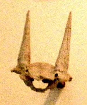Bovidae - Skull of Eotragus sansaniensis, a species of the ancient bovid genus Eotragus