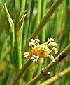 Ephedra viridis 3.jpg