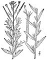 Epilobium strictum BB-1913.png