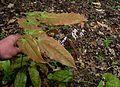 Epimedium x omeiense Myriad Years - Flickr - peganum (1).jpg