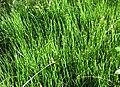 Equisetum scirpoides01.jpg