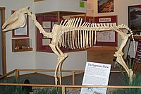 Equus simplicidens mounted 02.jpg