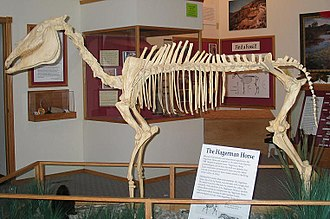Hagerman Fossil Beds National Monument - Mounted skeleton of a Hagerman horse, Equus simplicidens
