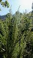 Erica arborea272.JPG