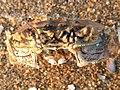 Eriocheir sinensis 125052203.jpg