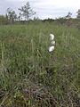 Eriophorum angustifolium Kiiminki, Finland 25.06.2013.jpg