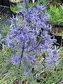 Eryngium bourgattii (14465598526).jpg
