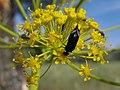 Escarabajo volteretas . (◡‿◡-) . Mordellidae (14050803760).jpg