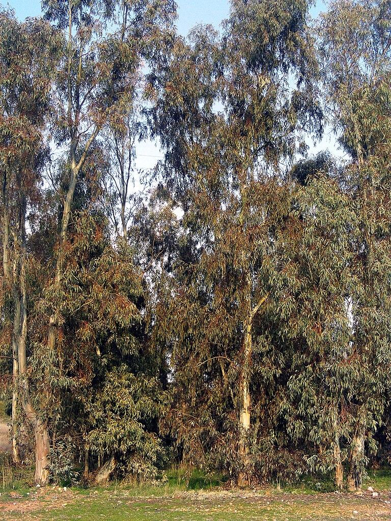 Resultado de imagen de eucalyptus camaldulensis