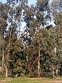 Eucalyptus camaldulensis Habitus DehesaBoyaldePuertollano.jpg