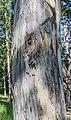 Eucalyptus globulus in Dunedin Botanic Garden.jpg