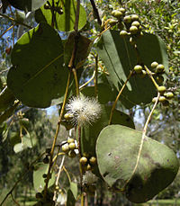 Eucalyptus platyphylla foliage and flowers