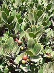 Euclea racemosa - Sea Guarrie Tree - berries 7.JPG