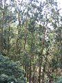 Eukaliptuszliget Madeirán.jpg