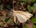 Eulithis populata02.jpg