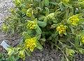 Euphorbia 2015-04-16 314.jpg