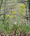 Euphorbia amygdaloides in Aveyron (7).jpg