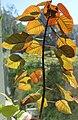 Euphorbia cotinifolia, juvenile plant, by Omar Hoftun.jpg
