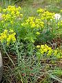 Euphorbia cyparissias plant.jpg