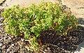 Euphorbia epithymoides.Düsseldorf.jpg