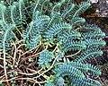 Euphorbia myrsinites L. JdP.jpg