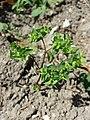 Euphorbia peplus (s. str.) sl8.jpg
