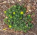 Euphorbia polymorpha, Christchurch Botanic Gardens, Canterbury, New Zealand 03.jpg