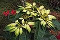 Euphorbia pulcherrima 05.JPG