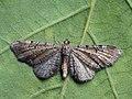 Eupithecia denotata - Campanula pug - Цветочная пяденица колокольчиковая (40235446034).jpg