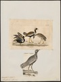 Eupodotis afra - 1700-1880 - Print - Iconographia Zoologica - Special Collections University of Amsterdam - UBA01 IZ17200057.tif