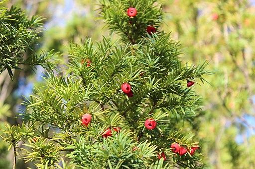 Europaeische Eibe European Yew rot red arillus fruit frucht Taxus Baccata