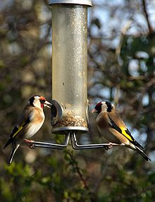 European Goldfinch (Carduelis carduelis) -two on birdfeeder.jpg