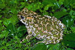European Green Toad.jpg