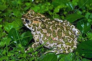 European green toad - Image: European Green Toad