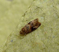 European Vine Moth.Lobesia botrana.Tortricidae - Flickr - gailhampshire.jpg
