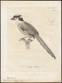 Eurylaimus dalhousiae - 1700-1880 - Print - Iconographia Zoologica - Special Collections University of Amsterdam - UBA01 IZ16700287.tif