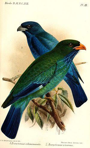 Oriental dollarbird - Subspecies E. o. solomonensis (front), illustration by Keulemans, 1892
