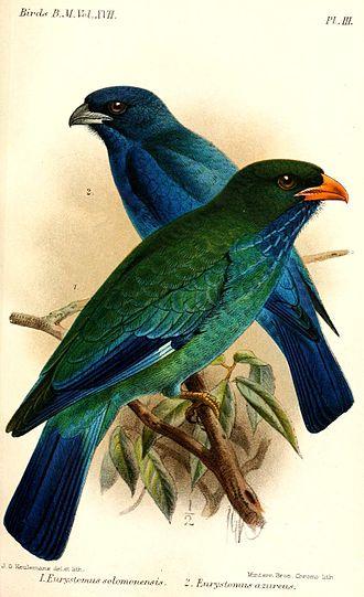 Oriental dollarbird - Subspecies E. o. solomonensis (front), illustration by Keulemans, 1892