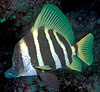 Evistias acutirostris (Striped boarfish)