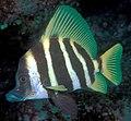 Evistias acutirostris (Striped boarfish).jpg
