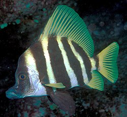 Evistias acutirostris (Striped boarfish).jpg