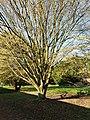 Fagales - Corylus avellana - 4.jpg